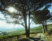 View over vineyards, Jordan Winery, Stellenbosch, S. Africa