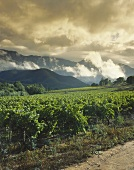Vineyards under stormy sky, Robertson Valley, S. Africa