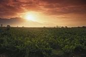 Vineyards at sunrise at Haro, Rioja Alta, Spain