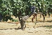 80 Jahre alte Merlot-Weinstöcke mit Trauben