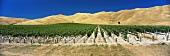 Vineyards in barren landscape, Clayvlin