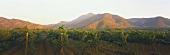 Vineyards of Santa Rita Winery, Valle del Maipo, Chile