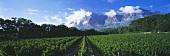 Vineyard of Plaisir de Merle, view of Simonsberg, S. Africa
