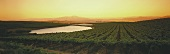 Evening in vineyard, Swartland, S. Africa