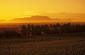 Vineyards at sunrise with Table Mountain, Stellenbosch, S. Africa