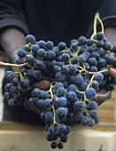 Hands holding Merlot grapes
