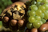 'Terroir' Hands holding loam, shale and Chardonnay grapes