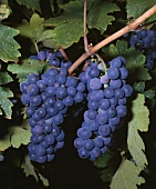 Zinfandel grapes - thought to be the Primitivo of S. Italy
