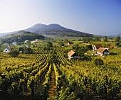 Weinberge bei Badacsonytomaj, Nordufer Balatonsee, Ungarn