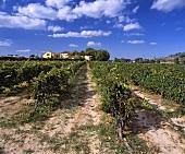 Mas la Plana Weinberg (Cabernet Sauvignon), Pacs del Penedes