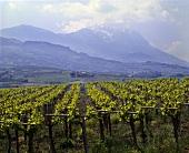 Weinberg bei Penne, Corno Grande im Hintergrund, Abruzzen, Italien
