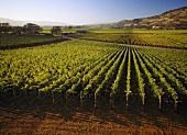 Rudd Estate vineyard, Oakville, Napa Valley, California