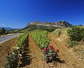 Biologischer Weinberg von Antoine Arena, Patrimonio, Korsika