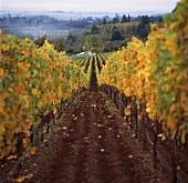 Weinberg der Bergstrom Winery, Dundee, Oregon