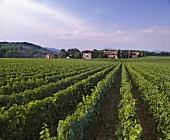 Breda Weinberg vom Gut Ca'del Bosco bei Passirano, Lombardei