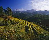 Vineyard near Amarante, Minho, Portugal