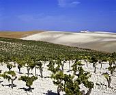 Palomino-Fino-Weine auf Emilio Lustau's Montegillilo Weinberg