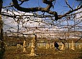 Reben werden vor Frost mit Stroh geschützt, Obuse, Japan