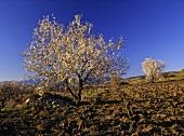 Blühende Mandelbäume, Agios Nikolaos, Paphos District, Zypern