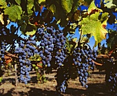 Cabernet-Sauvignon-Trauben von Laurel Glen Winery, USA