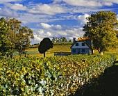 Weinbau bei Santana do Livramento, Rio Grande do Sol, Brasilien