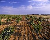 Weingebiet bei Herdade do Esporão, Alentejo, Portugal