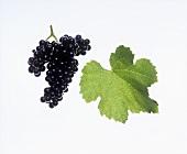 Blauer Wildbacher grapes with vine leaf