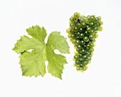 Grüner Veltliner grapes with vine leaf