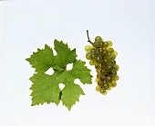 Bouvier grapes with vine leaf