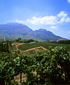 Vineyard on Tokara Estate, Stellenbosch, S. Africa