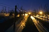 Picking grapes for ice wine at night, Rheingau, Germany
