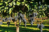 Blaufränkisch grapes on the vine