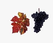 Dunkelfelder grapes with vine leaf