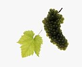 Welschriesling grapes with vine leaf