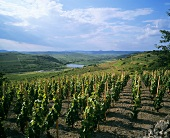Vineyard near Tokaj, Hungarian sweet wine region