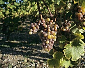 Sémillon grapes
