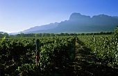 Vineyards at foot of Groot Drakensteinberg, Stellenbosch, S. Africa