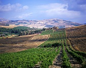 Vineyard around Segesta; Sicily (west), Italy