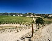 Vineyard near Geyserville, Sonoma, California