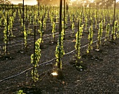 Drip irrigation, Napa Valley, California