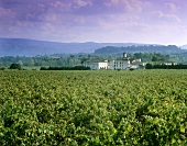Vineyard near Sant Sadurni d'Anoia, Penedès, Spain (Cava)