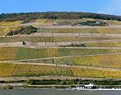 'Rüdesheimer Roseneck', Rheingau, Deutschland
