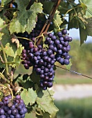 Dornfelder grapes