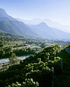Vineyards near Aosta, Aosta valley, Italy
