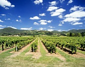 Lindemans vineyard, Lower Hunter Valley, NSW, Australia