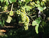 Grüner Veltliner grapes (mainly grown in Austria)