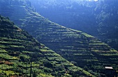Terraced vineyards, DOC Cinque Terre, Liguria, Italy