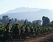 Weinberge im Valle de Curicò, Chile