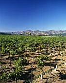 Trefethen Vineyard, Napa, Napa Valley, California, USA
