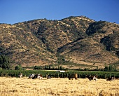 Vineyards in Valle de Rapel, Chile